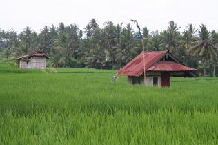 Rice Fields around Ubud