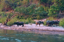 Water buffalos on the side of the Mekong river