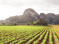 Tabacco fields and limestone formations near Viñales